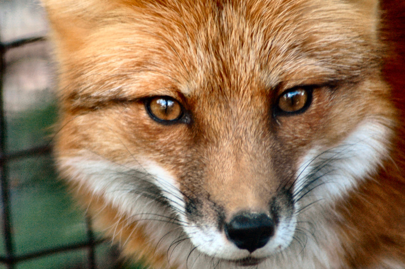 red fox face and - photo #34