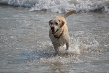 Our yellow lab loves the water. And she gives her endorsement of this blog post.