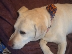 You know you have the best wife ever when she makes a Broncos pom pom for the dog without a Broncos collar. Love.